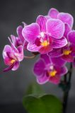 Orchidea Royalty Free Stock Image