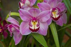 Orchidea Fotografie Stock Libere da Diritti
