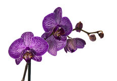 Orchidea Immagine Stock