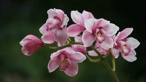 Orchidea archivi video