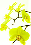 Orchidea 3 Obraz Stock