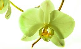 Orchidea 5 Zdjęcia Stock