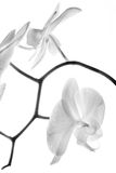Orchidea 6 Obrazy Stock