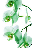 Orchidea 9 Fotografia Stock