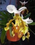 Orchidea Στοκ φωτογραφία με δικαίωμα ελεύθερης χρήσης