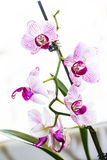 Orchidea Obrazy Royalty Free