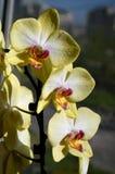 Orchidea Zdjęcie Stock