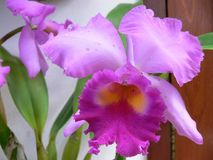 Orchidea images stock