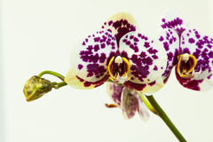 Orchidea Obrazy Stock