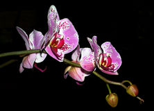 Orchidea Stockfotos