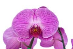 Orchidea Immagine Stock Libera da Diritti