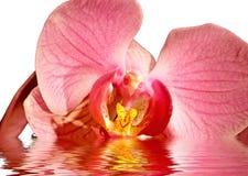 Orchidea in acqua Fotografia Stock Libera da Diritti