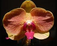 Orchidea arancio con un petalo concentrare rosso Immagini Stock Libere da Diritti