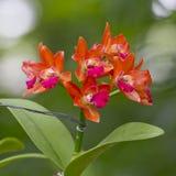 Orchidea arancio e rosa di colori Fotografia Stock Libera da Diritti