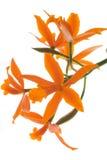 Orchidea arancione (Lelia) isolata fotografia stock