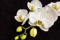 Orchidea ascendente cercano del blanco Imágenes de archivo libres de regalías