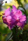 Orchidea Bai motyla i orchidei gospodarstwo rolne Mae obręcz Chiang Mai prowincja Tajlandia Fotografia Stock