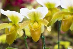 Orchidea bella in natura fotografia stock libera da diritti