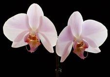 Orchidea bianca Fotografia Stock Libera da Diritti