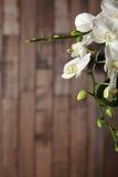 Orchidea bianca Immagine Stock