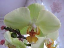 Orchidea bianca Immagini Stock