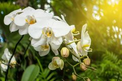 Orchidea bianca Fotografie Stock