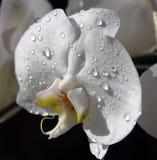 Orchidea bianca bagnata Fotografia Stock