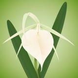 Orchidea bianca con grande Labellum e le foglie, illustrazione di vettore Fotografia Stock Libera da Diritti