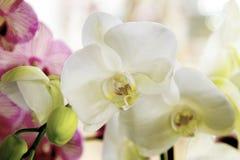 Orchidea bianca del bello fiore dell'interno con il centro giallo Immagine Stock Libera da Diritti