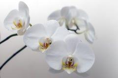 Orchidea bianca di fioritura Fotografie Stock