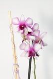 Orchidea bianca e rosa Fotografie Stock