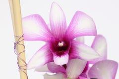 Orchidea bianca e rosa Fotografie Stock Libere da Diritti