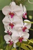 Orchidea bianca e rosa, Sri Lanka Fotografia Stock