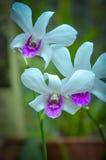 Orchidea bianca in giardini botanici reali, Kandy, Sir Lanka Fotografia Stock Libera da Diritti