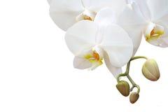 Orchidea bianca isolata Fotografia Stock