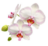 Orchidea bianca isolata su bianco Immagine Stock Libera da Diritti