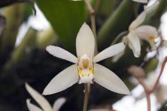 Orchidea bianca nel suo habitat naturale Fotografia Stock Libera da Diritti