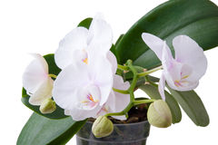Orchidea bianca pura Fotografie Stock Libere da Diritti