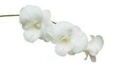 Orchidea bianca pura su fondo bianco isolato Fotografia Stock Libera da Diritti