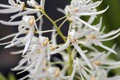 Orchidea bianca su fondo verde scuro Fotografia Stock Libera da Diritti