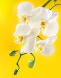 Orchidea bianca su priorità bassa gialla Immagine Stock Libera da Diritti