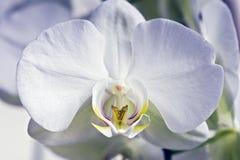 Orchidea bianca su priorità bassa verde Fotografia Stock Libera da Diritti