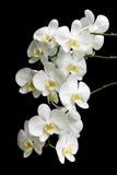 Orchidea bianca su una priorità bassa nera fotografia stock