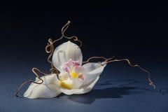 Orchidea bianca sui precedenti grigi Fotografia Stock