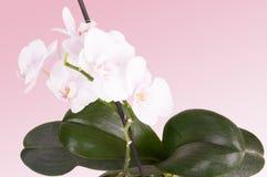 Orchidea bianca tenera Fotografia Stock