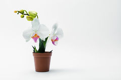 Orchidea bianca in un vaso Immagine Stock