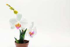 Orchidea bianca in un vaso Fotografie Stock Libere da Diritti