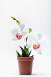 Orchidea bianca in un vaso Immagini Stock