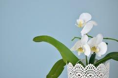 orchidea biel trzy Obrazy Royalty Free