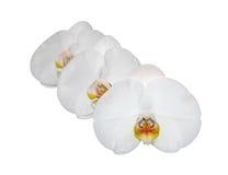 orchidea biel trzy Zdjęcie Royalty Free